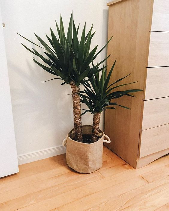 Yucca Tree large indoor plants