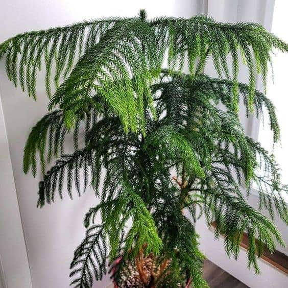 indoor pine tree