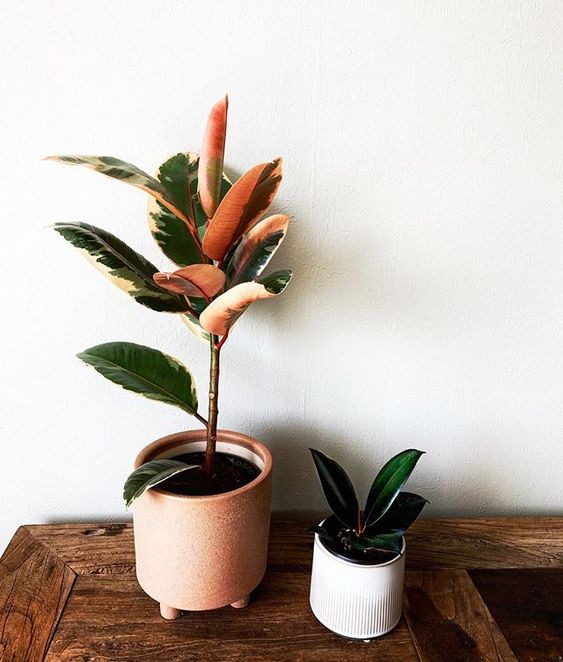 Rubber Tree Ficus Variegated
