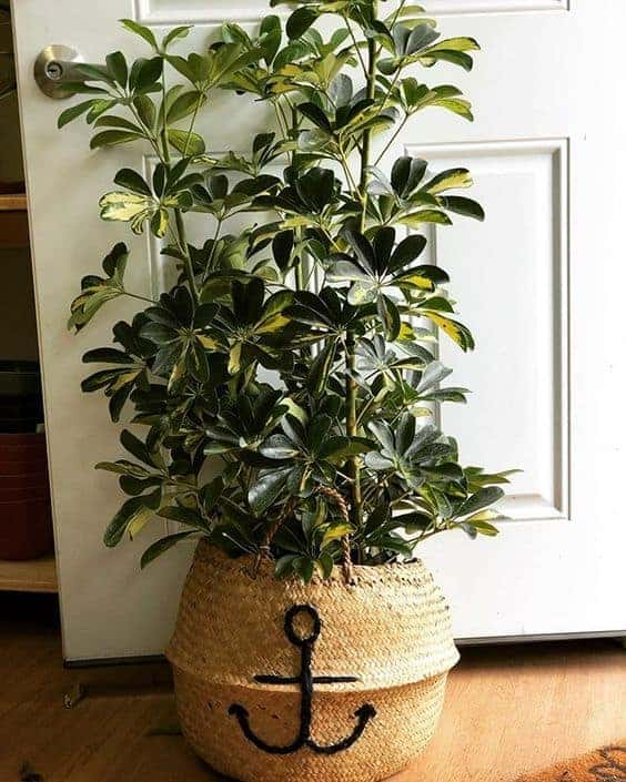 schefflera variegata indoor tree
