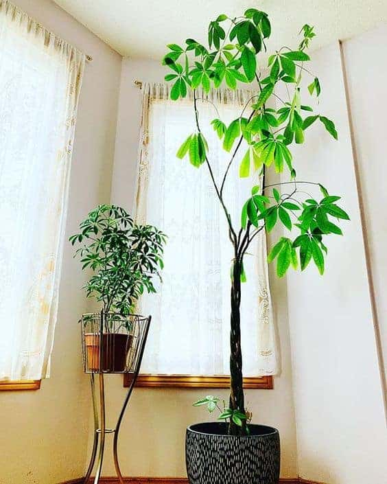 best indoor tree - money tree