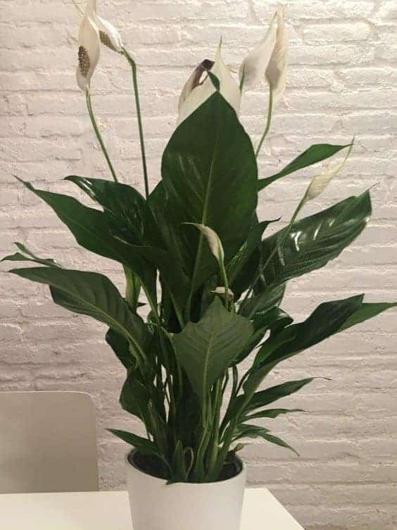 Peace Lily with Flowers
