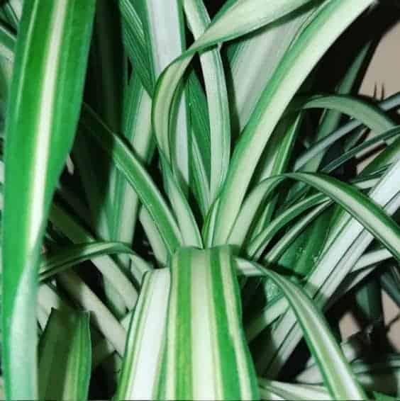 Spider Plant Leaves Macro