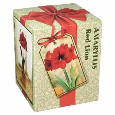 amaryllis growing kit for christmas