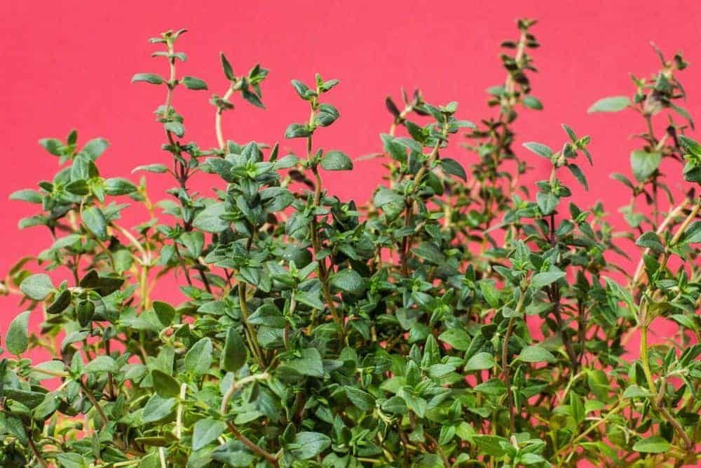 herbs on a pink background