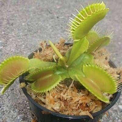 carnivore plant