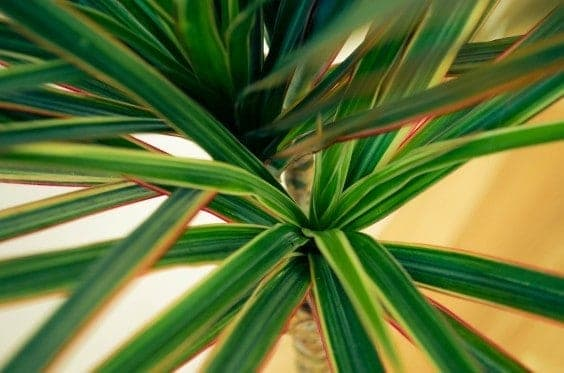 Dracaena Marginata Leaves Macro