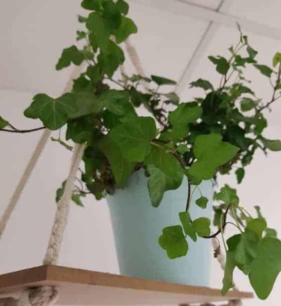 Hanging English Ivy