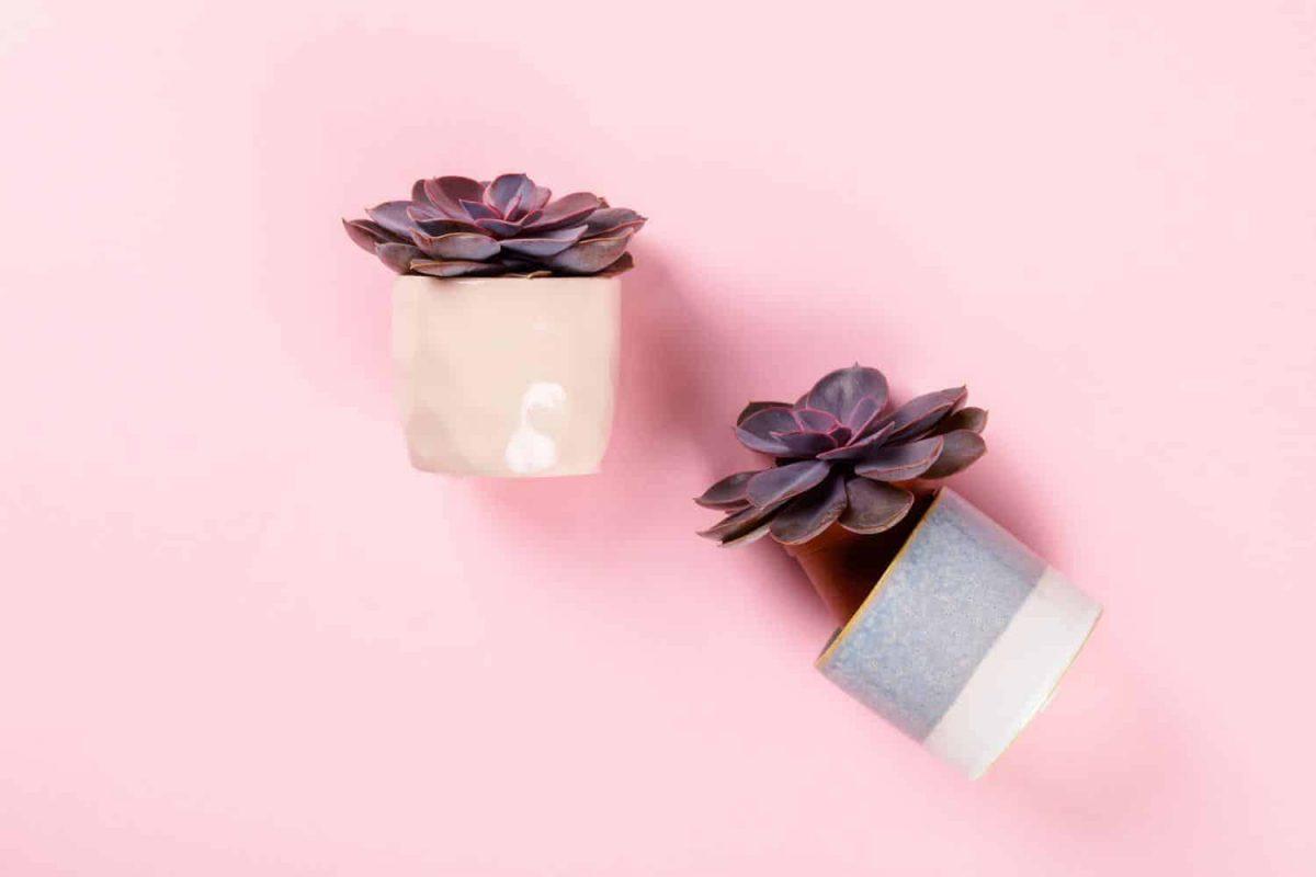 Echeveria von nurnberg in cute, small pots