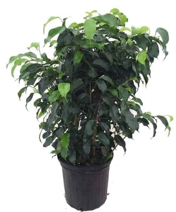 Weeping Ficus in a pot