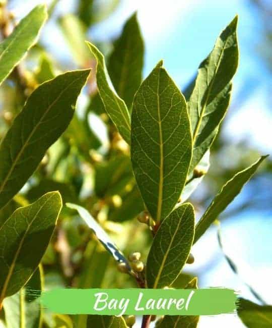 bay laurel leaves