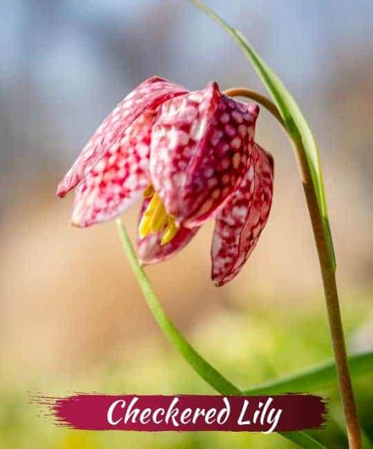 checkered lily