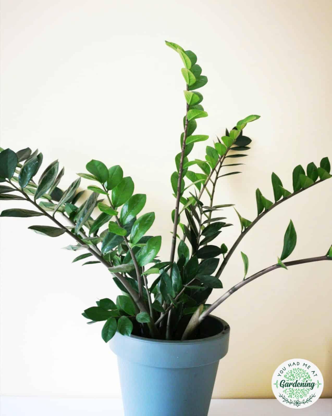 Medium sized zz plant