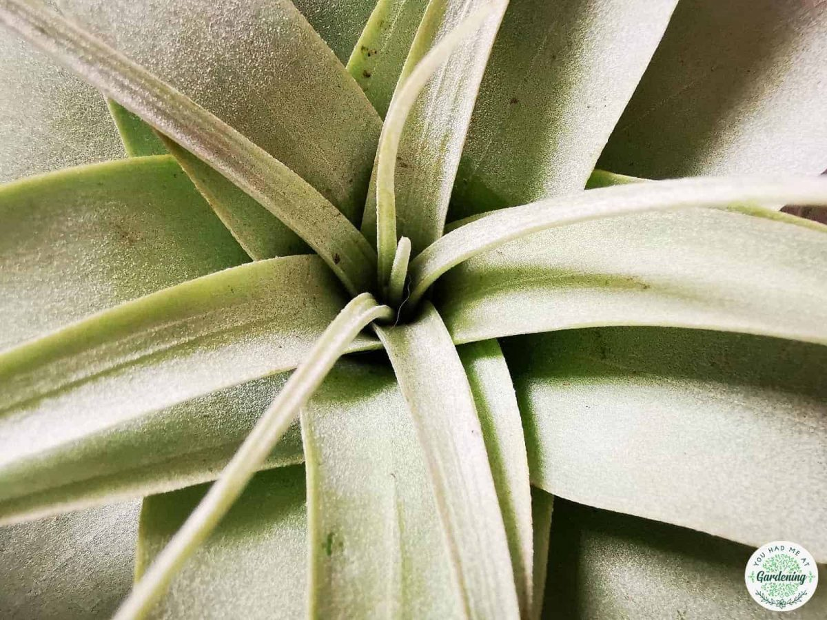 Tillandsia xerographica Close-up photography