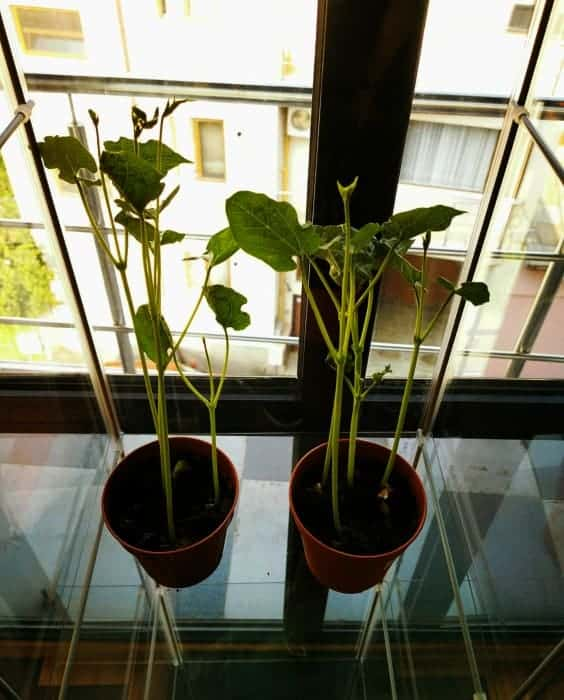 bean plants in pots