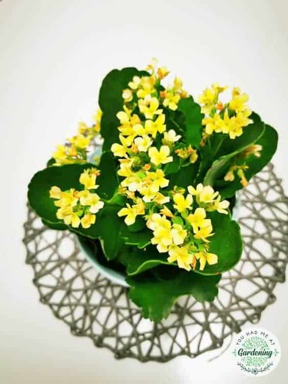 Kalanchoe Plant Care Make Your Kalanchoe Bloom Again Yhmag