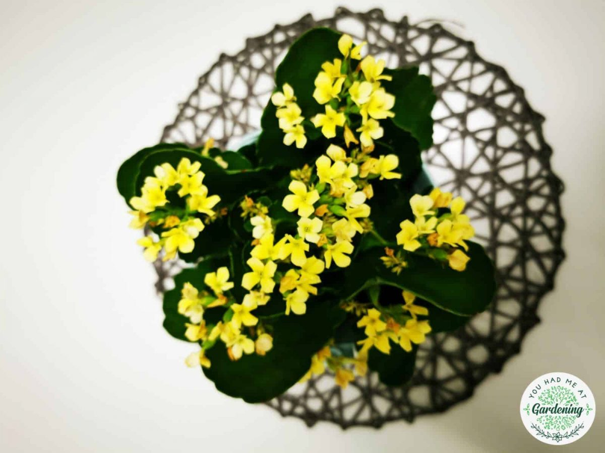 kalanchoe plant with yellow flowers