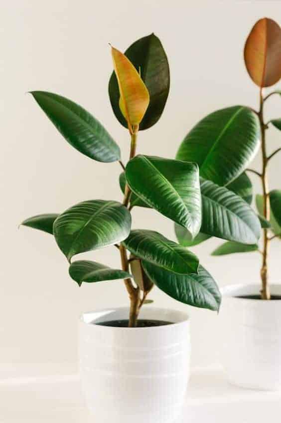 rubber plants in pots