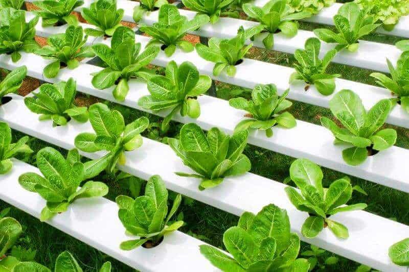 hydroponic garden of romaine lettuce