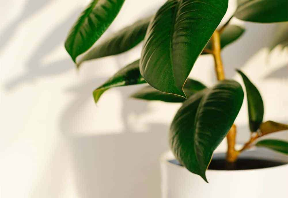 rubber plant in a white pot