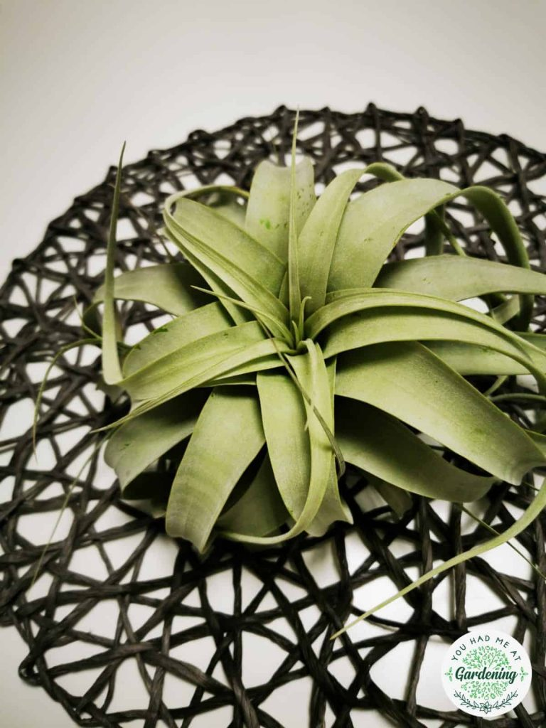 tillandsia xerographica on a table
