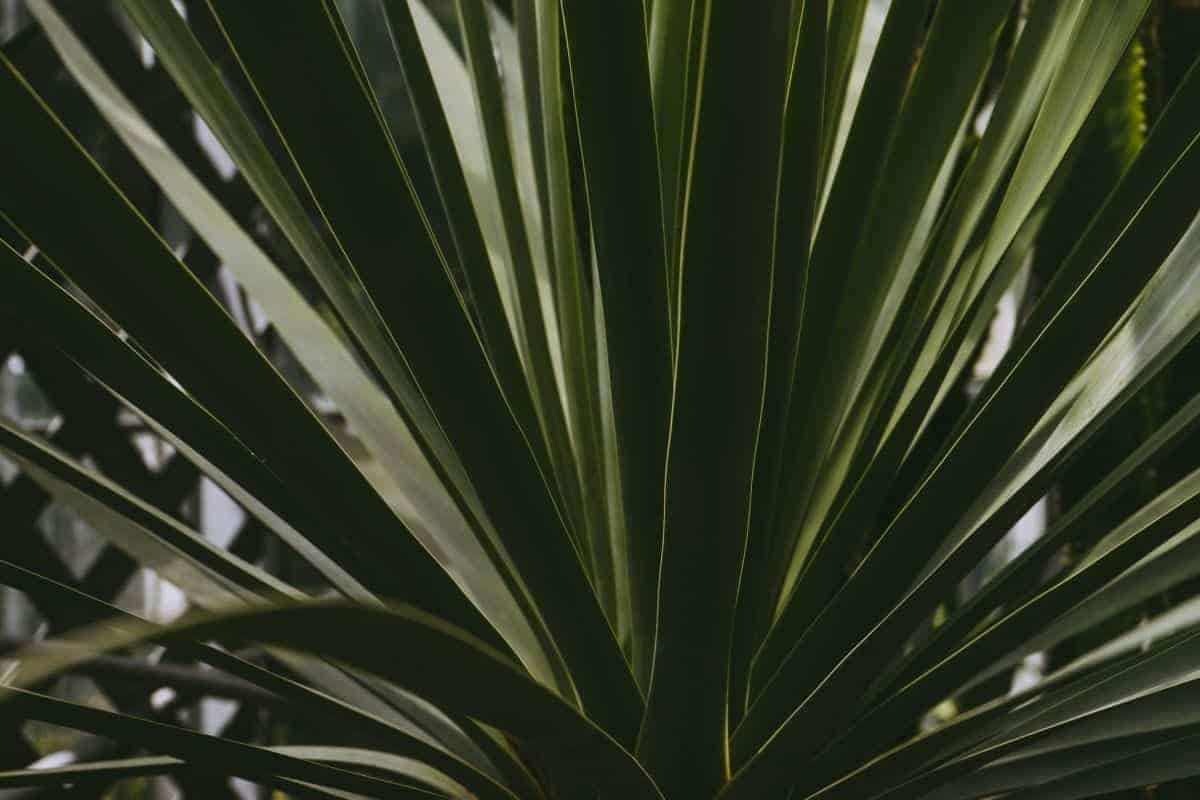 yucca plant leaves