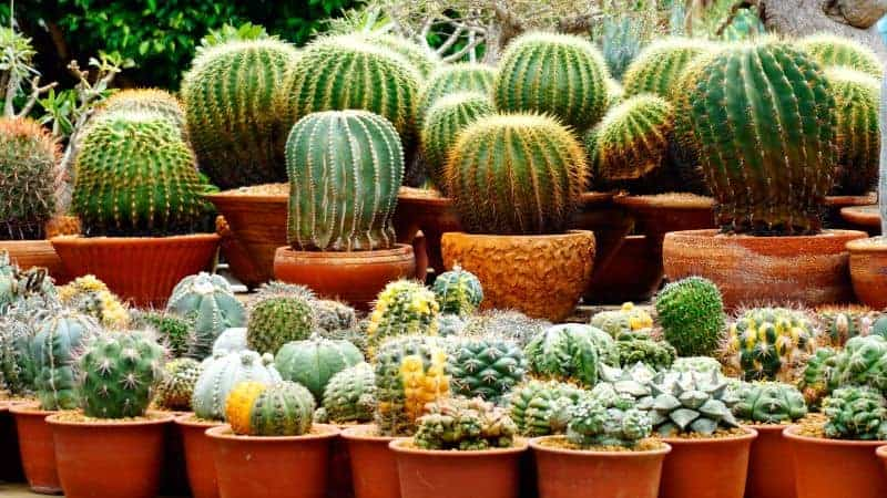multiple types of cacti