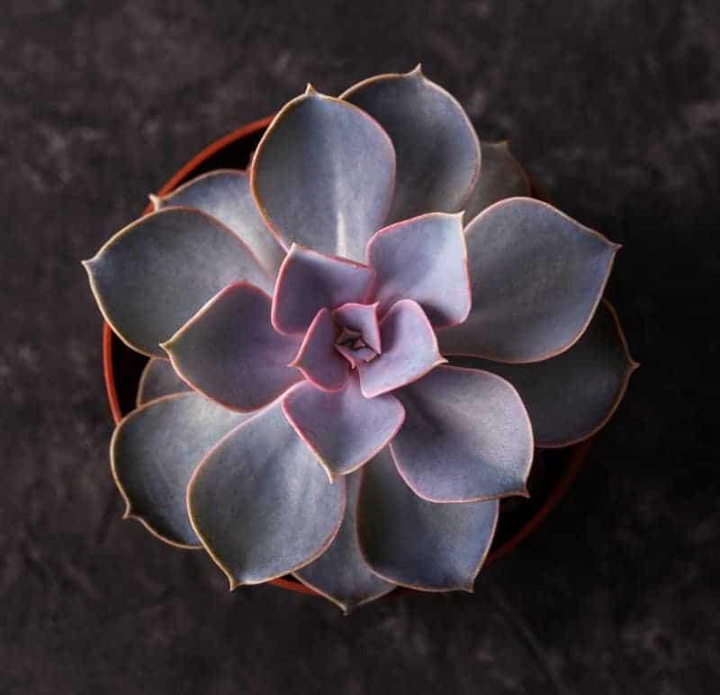 echeveria perle von nurnberg