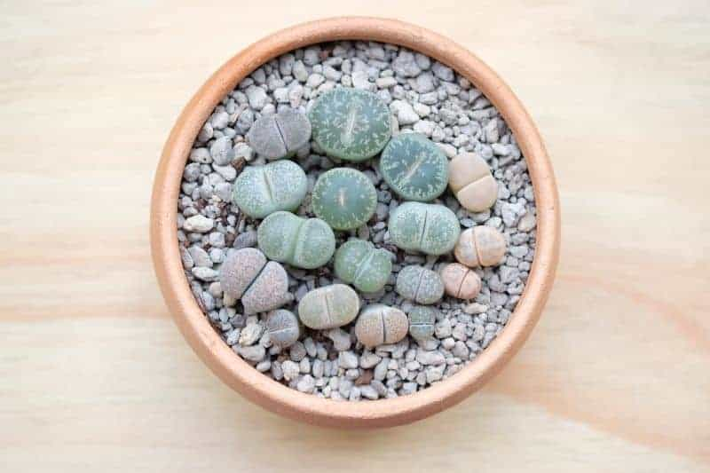 lithops succulents in a pot