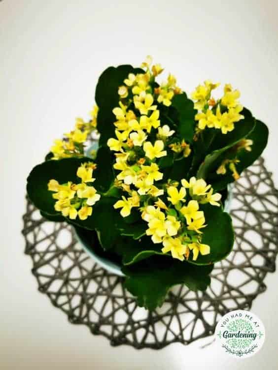 kalanchoe with yellow flowers