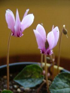 Cyclamen Christmas flower