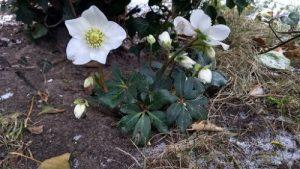 Helleborus niger Christmas flower