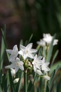Narcissus papyraceus Christmas flowers