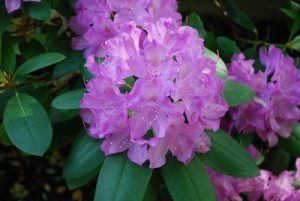 Rhododendron Christmas flowers