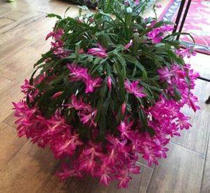 Schlumbergera x buckleyi Christmas flowers
