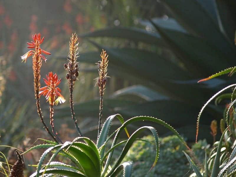 Aloe Candelabra