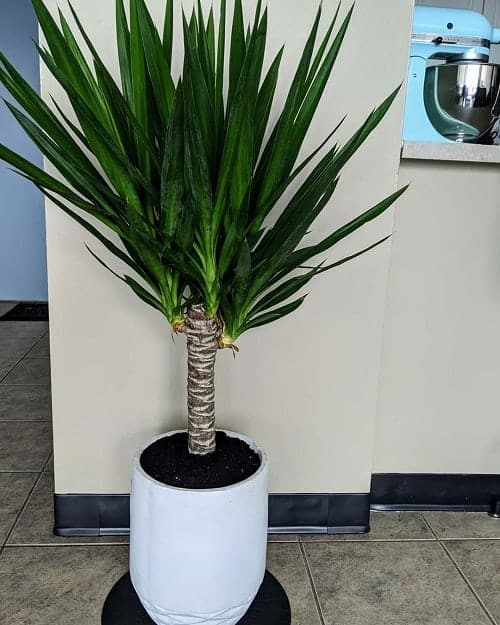Yucca cane in white pot