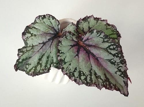 Rex begonia plant
