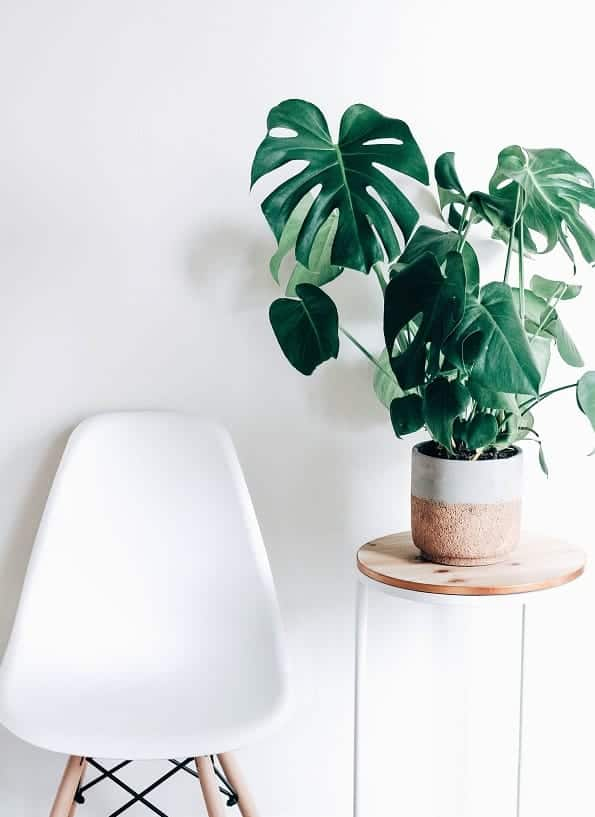 Monstera Deliciosa beside white chair