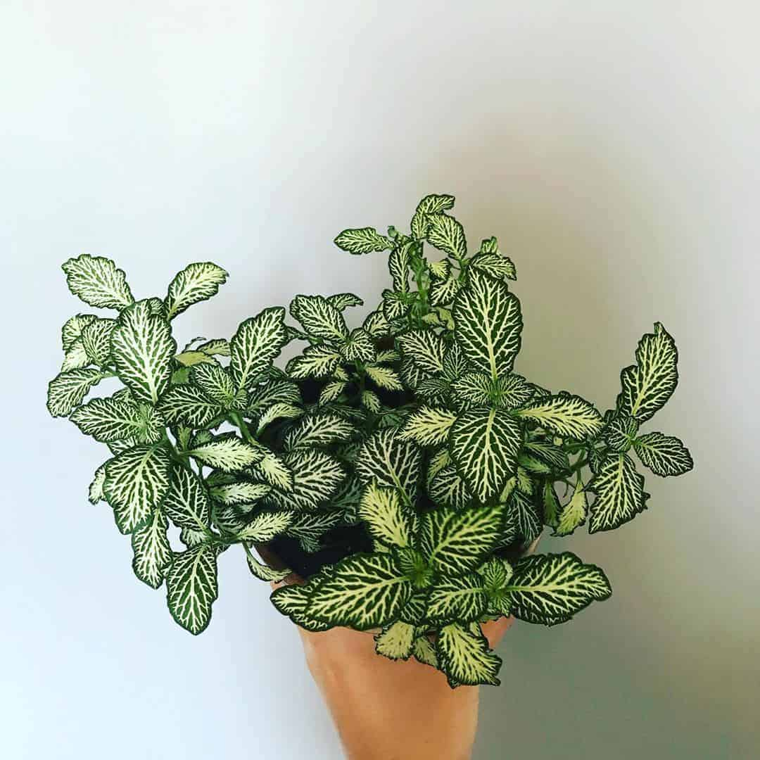 Nerve Plant (fittonia) in a clay pot