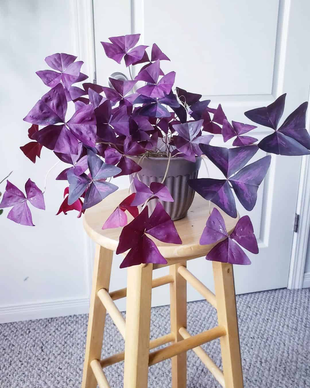 Oxalis Triangularis in a pot on a wooden chair