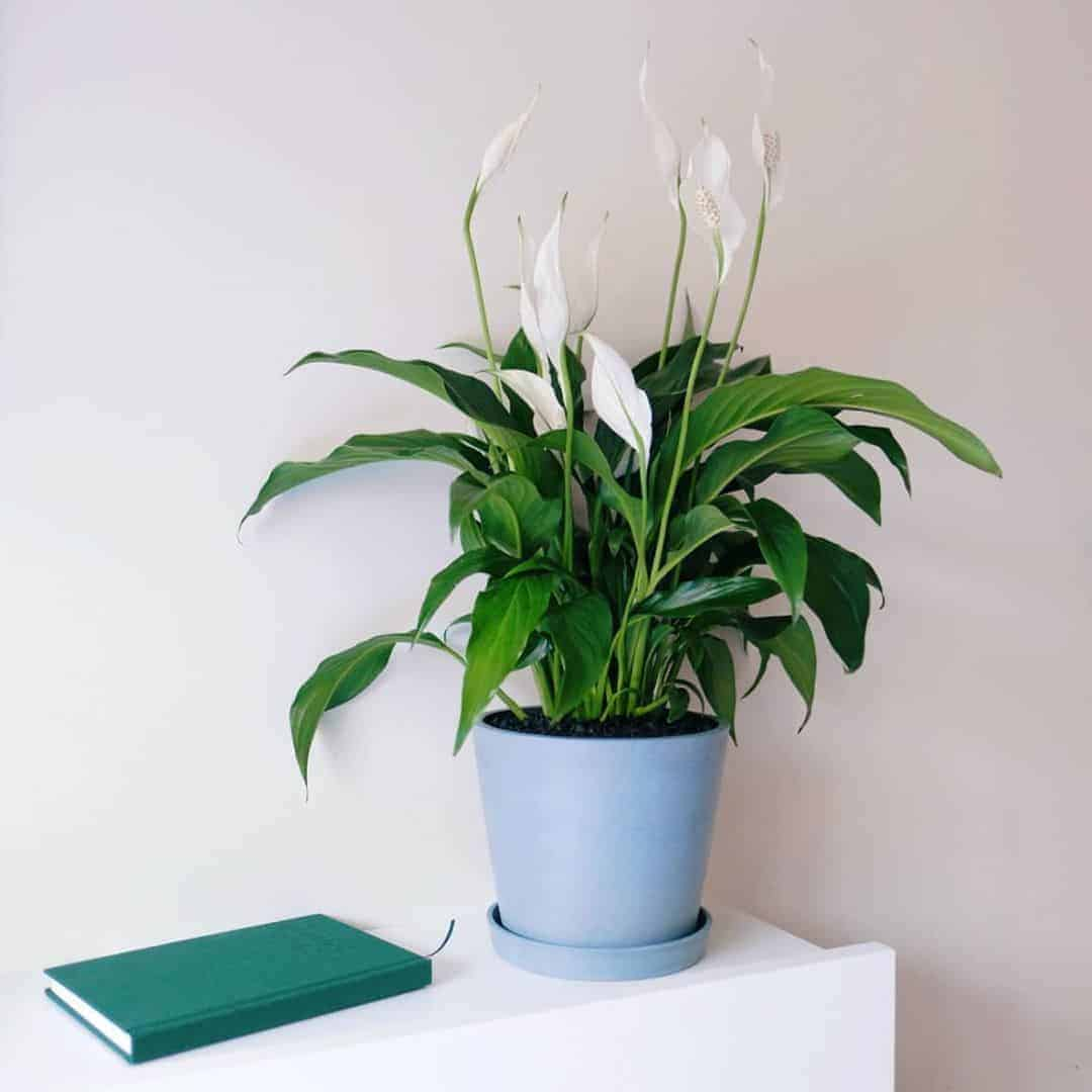 Peace lily in an office