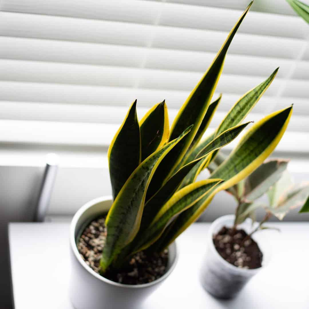 Snake plant by the window