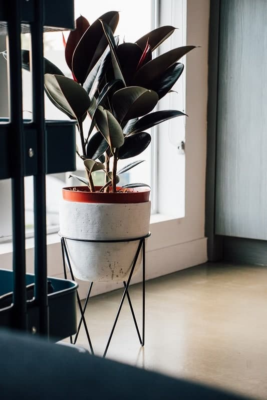 rubber plant in white pot