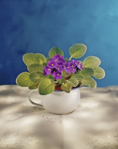 plants that grow in water african violet