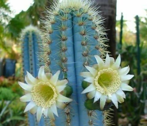 blue flame cactus drought tolerant plants
