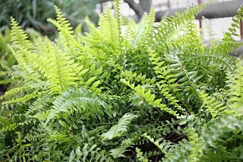 ferns drought resistant plants