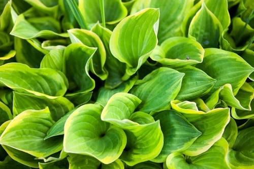 drought tolerant plants hostas