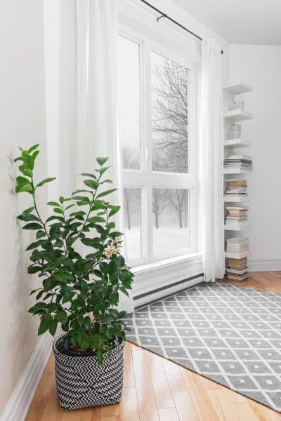 large indoor plants lemon tree