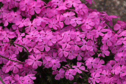 creeping phlox drought tolerant plants
